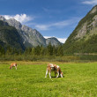 Cows in  Alps — Stock Photo