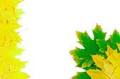 秋のカエデの葉 — ストック写真