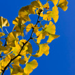 Ginkgo — Stock Photo #7680773