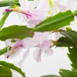 Christmas cactus - Schlumbergera truncata — Stock Photo #7938740