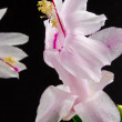 Christmas cactus - Schlumbergera truncata - Stock Photo