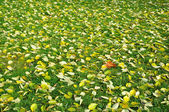 Background of the fallen leaves. — Stock Photo