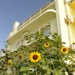 Stock Photo: Sunflower in front of villa.