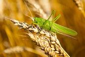 Locust eats wheat crop — Stock Photo