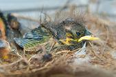 Newborn chick in the nest — Stock Photo