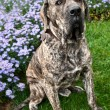Brazilian Mastiff or Fila Brasileiro dog at the park — Stock Photo