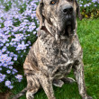 Brazilian Mastiff or Fila Brasileiro dog at the park — Stok fotoğraf