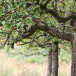 Stock Photo: Apple tree