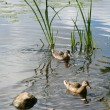 Foto Stock: Lake stones ducks