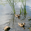 Foto de Stock  : Lake stones ducks