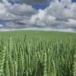 Corn fleld — Stock Photo #7647327