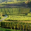 Alsacian vineyards — Stock Photo
