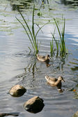 Lake stones ducks — Stock Photo