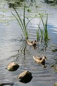 Lac pierres canards — Photo