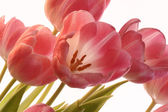 The pink tulips — Stock Photo