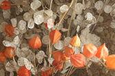 Dried flowers — Stockfoto