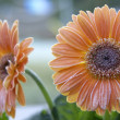 Stock Photo: Frosted Gerberas