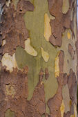 Sycamore Tree Bark — Stock Photo
