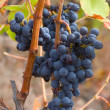 Vine in autumn — Stock fotografie