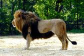 Portrait of a Lion Cub — Stock Photo