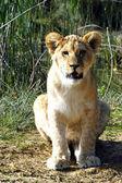 Portrét lvíče — Stock fotografie