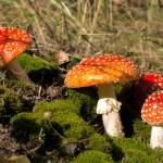 Постер, плакат: Red mushrooms among moss