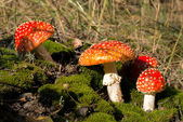 Red mushrooms among moss — Stock Photo