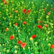 Beautiful wild flowers in the meadow — Stock Photo #6759299