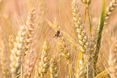 Spica of corn in the field with spider — Stock Photo