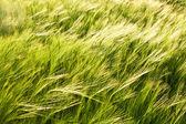 Pattern of green corn in field — Stock Photo