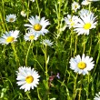 Beautiful chamomiles in the meadow — Stock Photo #6824404