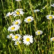 Beautiful chamomiles in the meadow — Stock Photo #6824409
