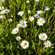 Beautiful chamomiles in the meadow — Stock Photo #6824415