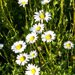 Beautiful chamomiles in the meadow — Stock Photo #6824425