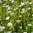 Beautiful chamomiles in the meadow — Stock Photo #6824432