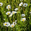 Beautiful chamomiles in the meadow — Stock Photo #6824440