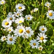 Beautiful chamomiles in the meadow — Stock Photo #6824445