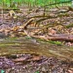 Stem of tree in wild oak forest — Stock Photo