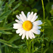 Chamomile  in the meadow — Stock Photo