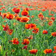 Beautiful poppy flowers in the meadow — Stock Photo #6826836