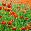 Stock Photo: Beautiful poppy flowers in the meadow