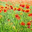 Beautiful poppy flowers in the meadow — Stock Photo #6826843