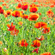 Beautiful poppy flowers in the meadow — Stock Photo #6826847