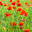 Beautiful poppy flowers in the meadow — Stock Photo