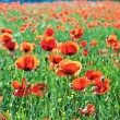 Beautiful poppy flowers in the meadow — Stock Photo #6826849