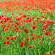 Beautiful poppy flowers in the meadow — Stock Photo #6826872