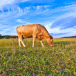 Portrait of nice brown cow in a field — Stock Photo #6829181
