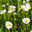 Stock Photo: Beautiful chamomiles in the meadow