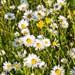 Beautiful chamomiles in the meadow — Stock Photo