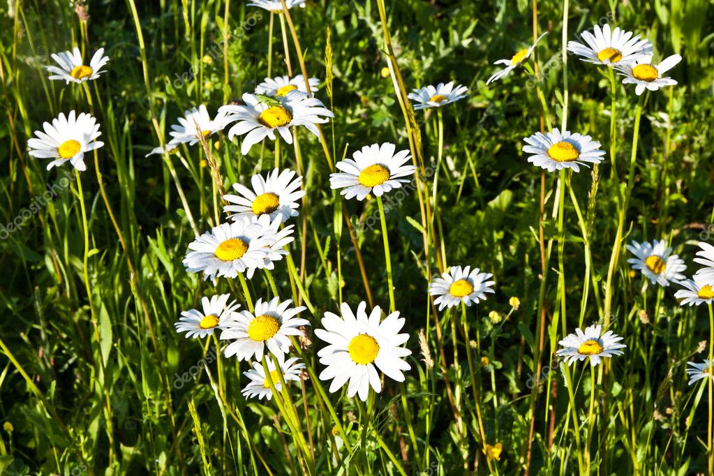 Beautiful chamomiles in the meadow — Stock Photo #6838714